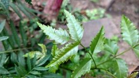 Azadirachta Indica oder neem Blatt Stockbild