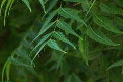 Azadirachta indica, powszechnie zna? jako neem, nimtree lub indianina bez, obraz stock