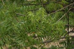 Azadirachta indica, sabido geralmente como o neem, o nimtree ou o lil?s do indiano imagem de stock