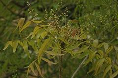 Azadirachta indica, sabido geralmente como o neem, o nimtree ou o lil?s do indiano foto de stock royalty free