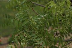 Azadirachta indica, sabido geralmente como o neem, o nimtree ou o lil?s do indiano foto de stock
