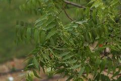 Azadirachta indica, sabido geralmente como o neem, o nimtree ou o lil?s do indiano imagens de stock