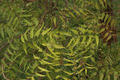 Azadirachta indica, sabido geralmente como o neem, o nimtree ou o lil?s do indiano fotos de stock