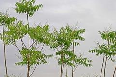 Azadirachta indica, sabido geralmente como o neem, o nimtree ou o lil?s do indiano imagem de stock royalty free