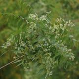 Azadirachta indica, sabido geralmente como o neem, o nimtree ou o lil?s do indiano fotografia de stock