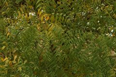 Azadirachta indica, sabido geralmente como o neem, o nimtree ou o lil?s do indiano fotografia de stock royalty free