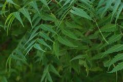 Azadirachta indica, sabido geralmente como o neem, o nimtree ou o lil?s do indiano fotos de stock royalty free