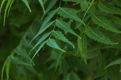 Azadirachta som ?r indica som gemensamt ?r bekant som neem, nimtree eller indierlila fotografering för bildbyråer