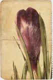 Azafrán Imagen de archivo