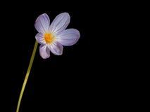 Azafrán aislada en negro Imagenes de archivo