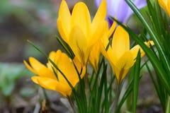 Azafrán amarilla #02 Imagen de archivo