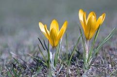 Azafrán amarilla Foto de archivo libre de regalías