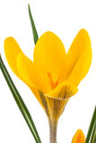 Azafrán amarilla imágenes de archivo libres de regalías