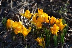 Azafrán amarilla Imagenes de archivo