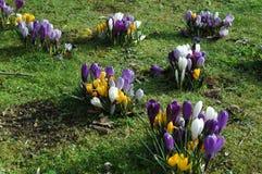 Azafrán amarilla, blanca y púrpura foto de archivo