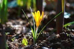 Azafrán amarilla de la flor en la hierba Imágenes de archivo libres de regalías