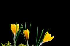 Azafrán amarilla en el fondo oscuro imagen de archivo