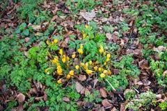 Azafrán amarilla en la primavera Fotografía de archivo
