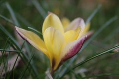 Azafrán amarilla y de bronce en primavera fotografía de archivo libre de regalías