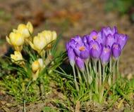 Azafrán, azafrán de la primavera Foto de archivo libre de regalías