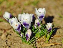 Azafrán, azafrán de la primavera. Foto de archivo libre de regalías
