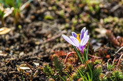Azafrán (azafrán) - una planta ornamental Foto de archivo libre de regalías
