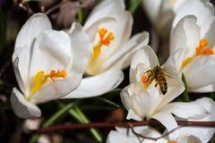 Azafrán blanca con la abeja Fotos de archivo libres de regalías