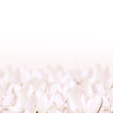 Azafrán blanca imagenes de archivo