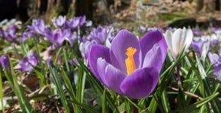 Azafrán colorida en un prado en la primavera, Noruega Imagen de archivo libre de regalías