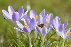 Azafrán con la abeja Fotografía de archivo