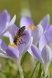 Azafrán con la abeja Foto de archivo libre de regalías