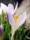 azafrán de la Blanco-lila en el jardín imágenes de archivo libres de regalías