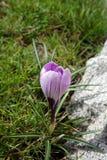 Azafrán de la flor del resorte fotografía de archivo libre de regalías