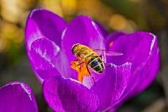 Azafrán de la lila y la macro de la abeja en el jardín Imágenes de archivo libres de regalías