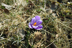 Azafrán de la púrpura de la flor Imagen de archivo
