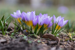 Azafrán de la púrpura de la primavera imágenes de archivo libres de regalías