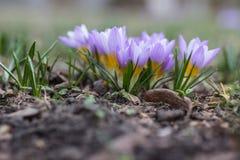 Azafrán de la púrpura de la primavera fotos de archivo