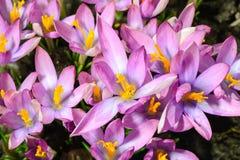 Azafrán de la púrpura de la flor de la primavera Fotos de archivo