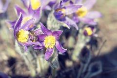Azafrán de la pradera, anémona del cutleaf Imagen de archivo