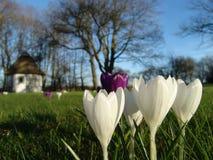 Azafrán de la primavera Fotografía de archivo