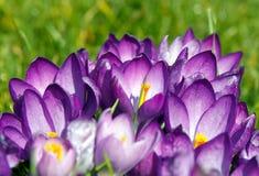 Azafrán de la primavera Imagenes de archivo