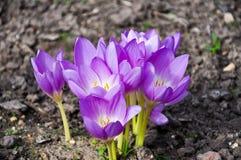 Azafrán de la primavera Imagen de archivo libre de regalías