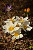Azafrán de la primavera Fotos de archivo