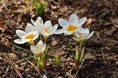 Azafrán de la primavera Fotos de archivo libres de regalías