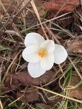 Azafrán de la primavera foto de archivo