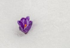Azafrán de la primavera de Frragile en la nieve blanca Fotos de archivo