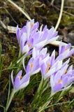 Azafrán de la primavera en la floración Imagen de archivo libre de regalías