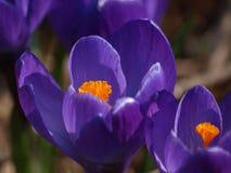 Azafrán de las flores imagen de archivo
