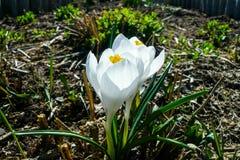 Azafrán de las flores blancas Imagen de archivo libre de regalías