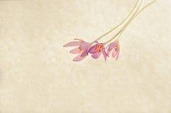 Azafrán de otoño imagen de archivo